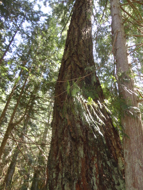 douglas-fir photo