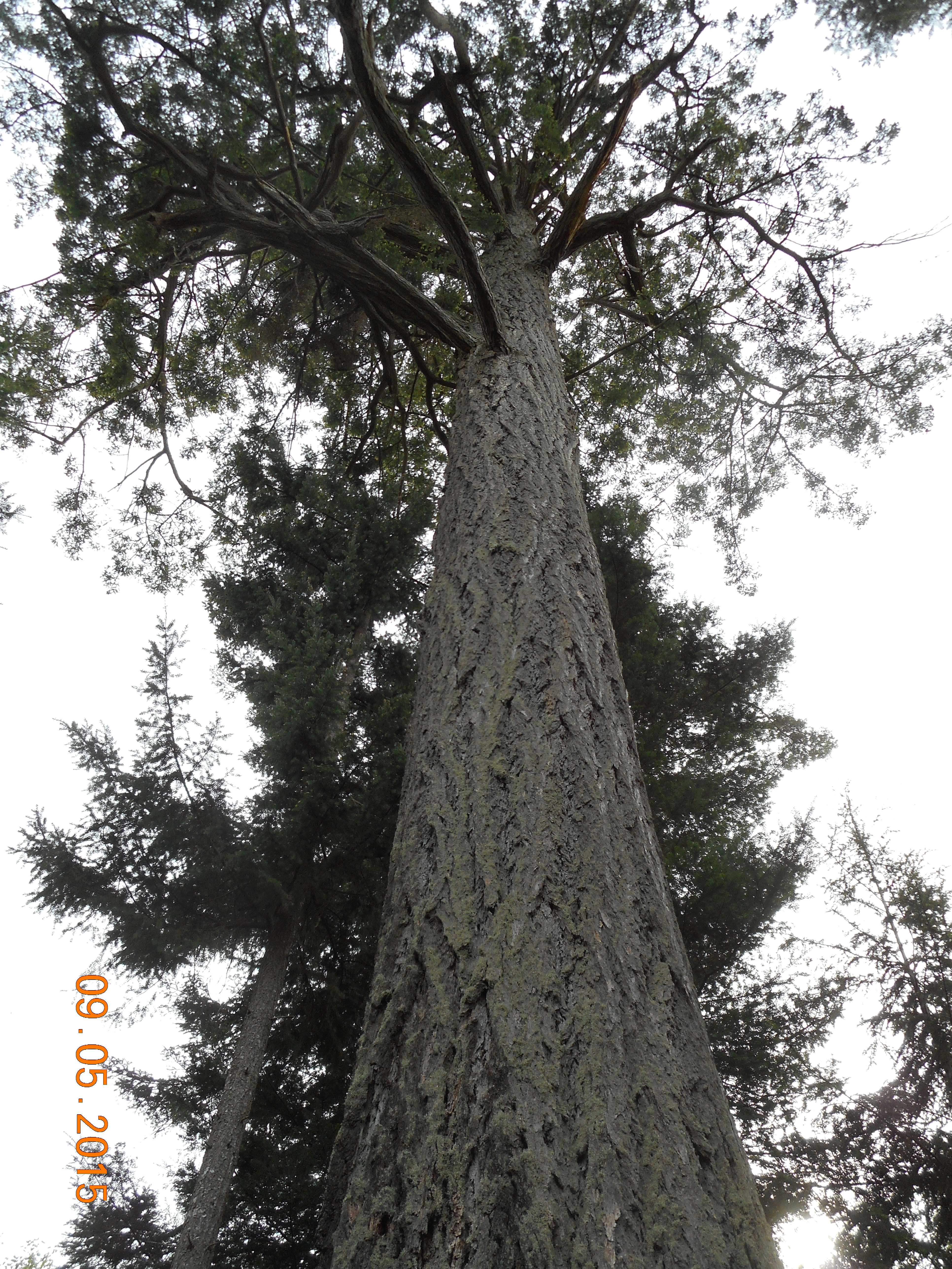 douglas-fir photo 2